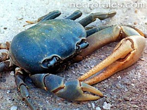 The blue crab basis for the original zoanthrope.